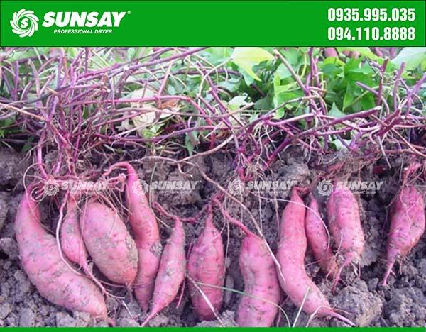 Khoai lang tím được trồng nhiều ở nước ta