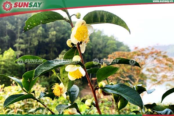 Nụ hoa trà xanh sấy lạnh có tác dụng trống lão hóa